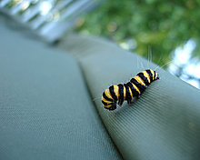 caterpillar_by_dkf.jpg