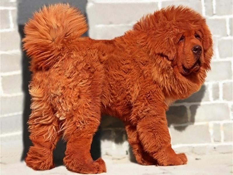 Дорогие породы собак фото 2