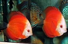 discus_white_face_red_marlboro.jpg